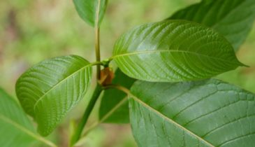 A Guideline for Beginners: Kratom Illegal in What States