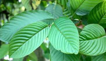 Detailed Guide to Buying Kratom Plants for Sale From Online Vendors