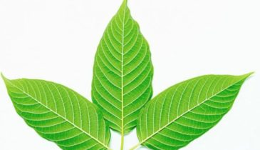 White Vein Sumatra is the Next Best Kratom Variant