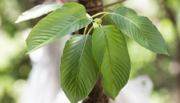 Southeast Asian Jungles and Riverbanks: The Kratom Forest Haven