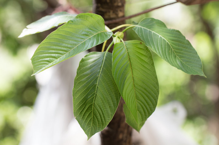 Why You Need to Consider Using Kratom as Your Alternative Aid