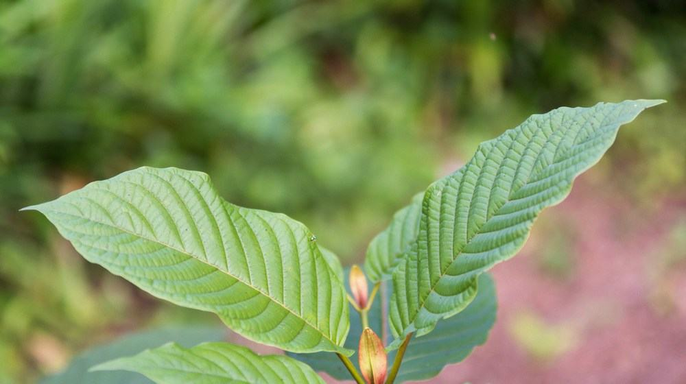 Green Riau Kratom Review and Comprehensive Guide