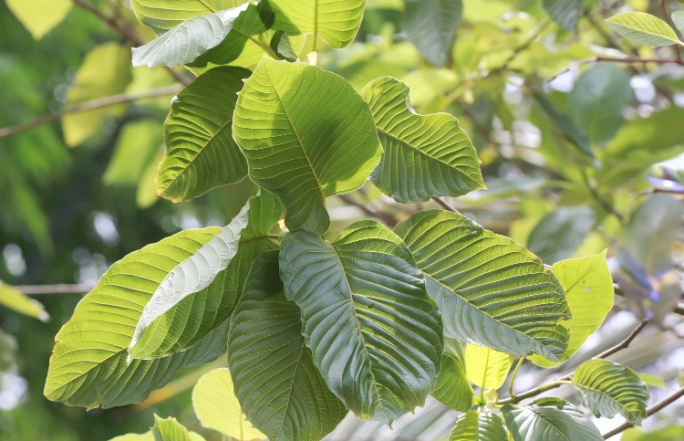 Revealing the Reasons Why Kratom Horn Is a Hit