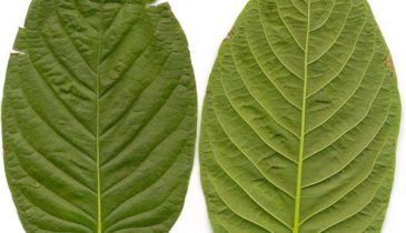 Know more About the Kratom Strains Built for Energy