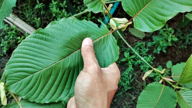 What is kratom leaf: Peeling the Information of an Amazing Plant