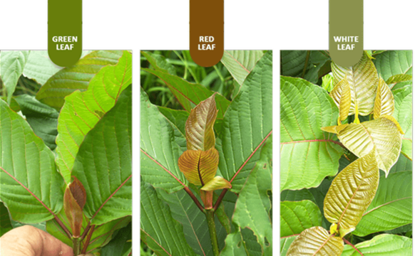 Fast Kratom: Why Better than Slow and Moderate Kratom?