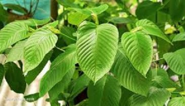 Buy Kratom From A Professional