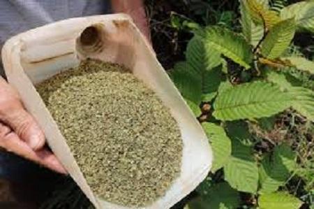 Green Malay Kratom – One of the best kratom strains